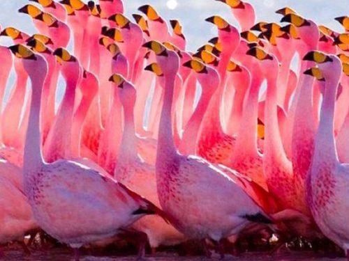 Record di fenicotteri rosa in Sicilia, ecco dove ammirarli