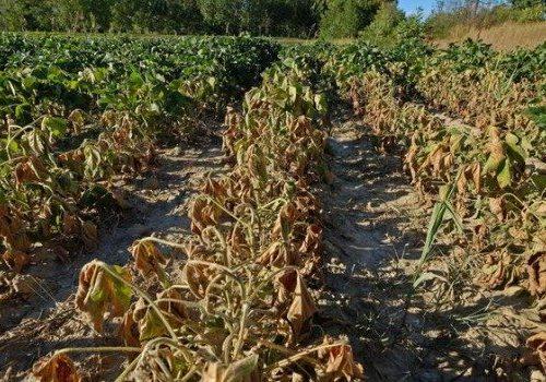 Inverno pazzo in Sicilia: campi aridi e grano che non riesce a germinare. Sbocciate le piante da frutto.