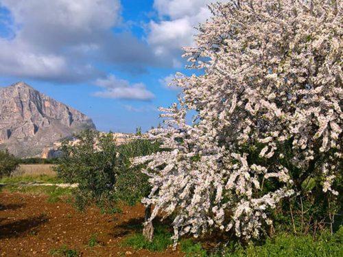 Mandorlo in fiore in Sicilia, tra i suoi fiori la storia di un amore eterno