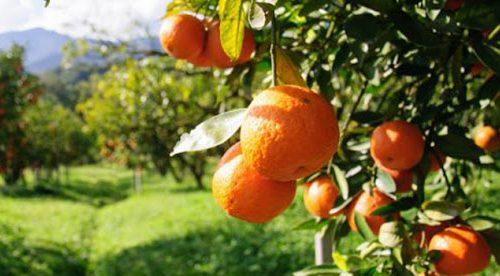 Le arance di Ribera, un'eccellenza siciliana dalle caratteristiche uniche al mondo