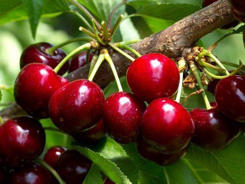 """Il """"Durone dell'Etna"""", la qualità di ciliegie preferita dai buongustai."""