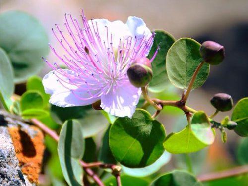 Capperi di Pantelleria: frutto prezioso del terreno lavico, dalle mille proprietà e dal marchio IGP