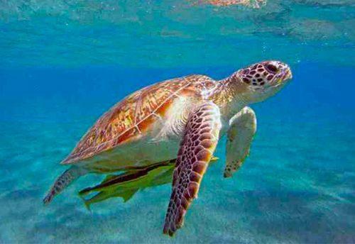San Vito Lo Capo: Avvistata una tartaruga marina Caretta Caretta in procinto di deporre le uova