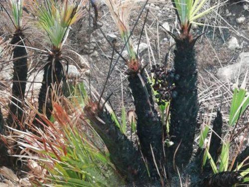 Le immagini della natura che rinasce. A Cofano e allo Zingaro germogliano le palme nane