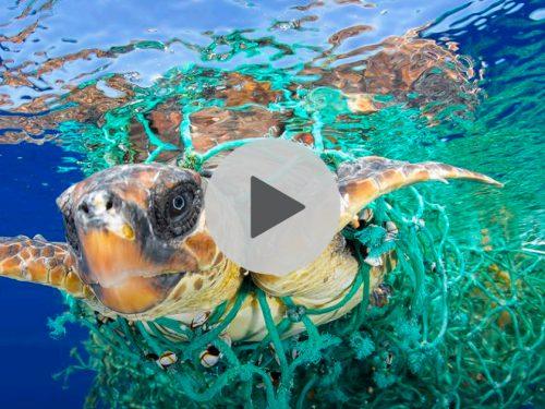 Salvato un meraviglioso esemplare di  tartaruga marina impigliata tra i rifiuti al largo di San Leone