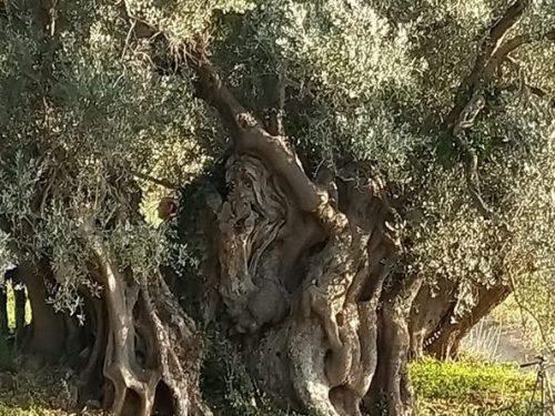 A Pettineo (ME), l'albero d'ulivo più antico della Sicilia, una vera scultura modellata dalla natura
