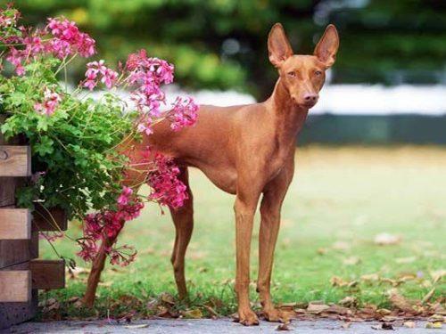 """Il Cirneco dell'Etna, il """"levriero"""" siciliano, fiero, longevo, intelligente. Il cane dei Faraoni"""