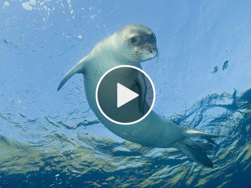 Torna nel mare di Lampedusa la Foca Monaca, a rischio estinzione. VIDEO