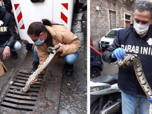 Paura a Catania, da un tombino del centro storico esce fuori un pitone lungo oltre un metro
