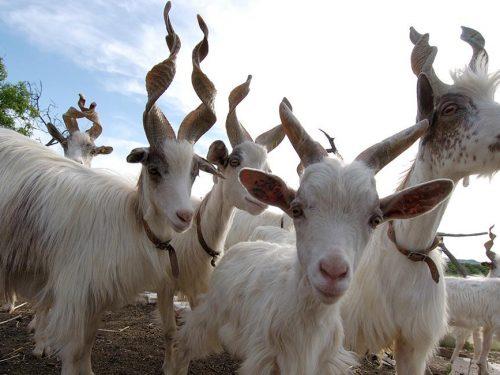 Giacomo, pastore per passione: dalla Germania ritorna in Sicilia e salva dall'estinzione la capra girgentana