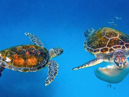 Soccorse due tartarughe marine in difficoltà alle Eolie: sono state chiamate Gilberta e Margherita