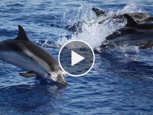 Branco di delfini avvistato attorno all'isola di  Filicudi. VIDEO