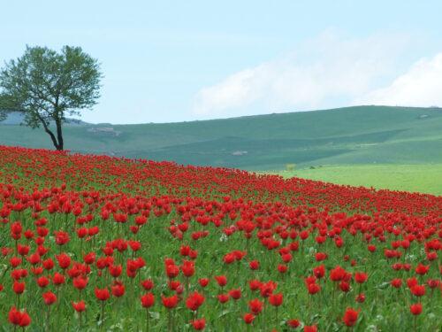 Una piccola Olanda in Sicilia: Blufi il paese dove fioriscono i tulipani